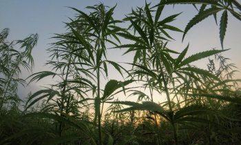 Външно отглеждане на марихуана
